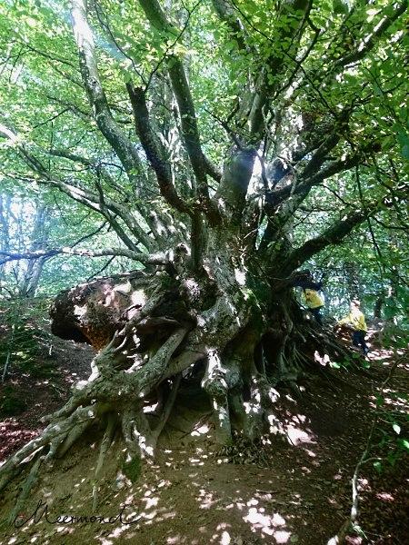 Wald Dänemark Buchen