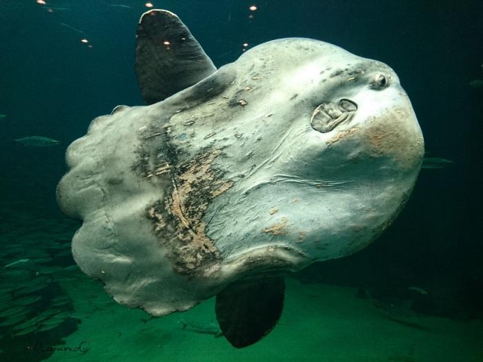 Klumpfisk Mondfisch Hirthals Ozeanarium