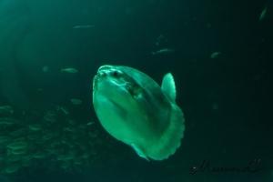Mondfisch Klumpfisk Hirtshals Dänemark