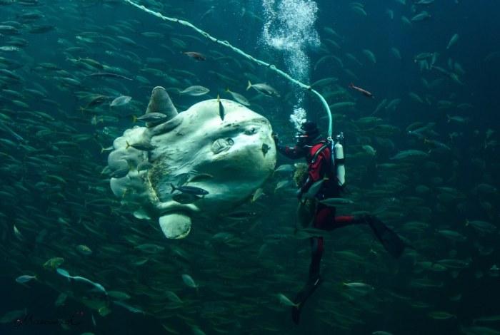 Taucher Klumpfisk Mondfisch Hirtshals