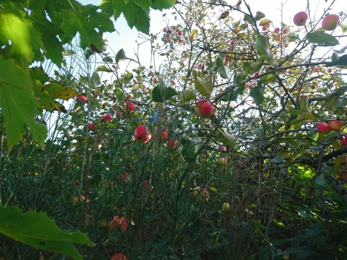 Apfelbaum Dänemark Nordjütland Wildnis