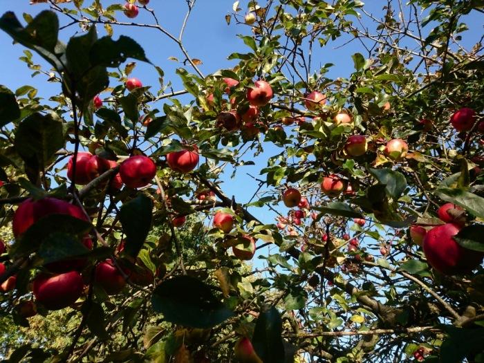 Dänemark Wildnis Baum Apfel.jpg